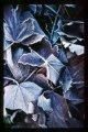 frosty leaf 1A.jpg