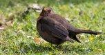 3.Blackbird (3 of 1).jpg
