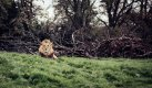 Snappers Choice - Lion.jpg