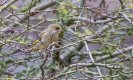 Greenfinch-1.jpg