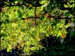 Sunlight through leaves P1011736.jpg