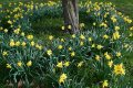 Daffodils 1 Resized.jpg