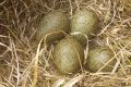 Curlew eggs.jpg