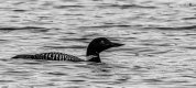 18.Greaty Northern Diver (18 of 1).jpg