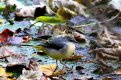 Grey Wagtail 19th Nov 2016.jpg