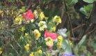 Tulips and Wallflowers.jpg