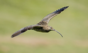 Curlew-tp