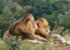Lions at YWP