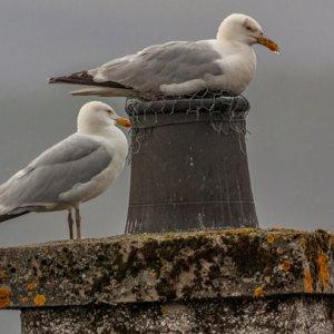 Herring Gulls.jpg