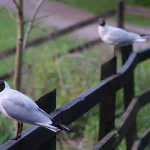 Pigeons natural