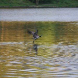 Duck landing