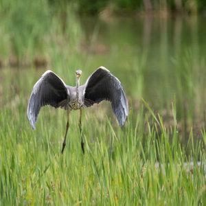 Grey Heron 03