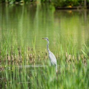 Grey Heron in lake