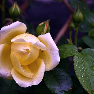 rose-1024.png