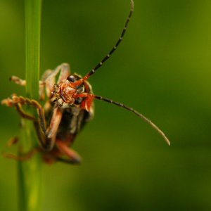 soldier-beetle-33-pixels-on-the-rocks.jpg