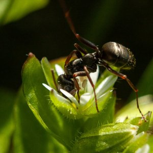 Carpenter-ant-on-chickweed-pixelsontherocks.jpg